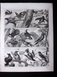 Heck 1849 Antique Bird Print. Hummingbirds, Birds of Paradise etc